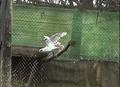 Успешное размножение белого ястреба-тетеревятника в неволе