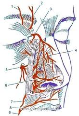 Кровоснабжение и иннервация наружного носа.