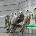 Продажа Хищных Птиц