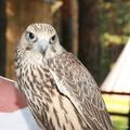 Сокол балобан птенцы 2011г./ Saker falcons