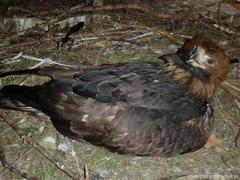 Размножение Орлов-Беркутов 2012