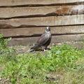 Сокол балобан птенцы 2012г./ Saker falcons