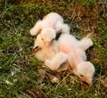Птенцы балобана в возрасте 2-4 дня.