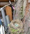 Гнездо дрозда-белобровика у крыльца офиса Холзана.