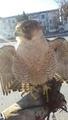 Фотоматериалы от туркменских сокольников