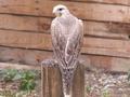 Cокол Балобан (Falco cherrug )