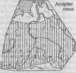 Перепелятник Малый ястреб (Accipiter nisus)