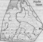 Степной орёл (Aquila тарах)