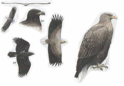 Орлан-белохвост (Haliaeetus albicilla).