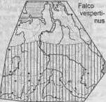Кобчик (Falсо vespertinus)