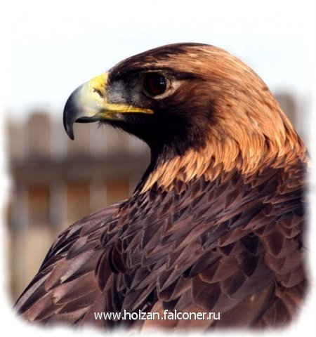 Орел - Беркут  продажа/ Golden Eagle for sale