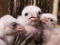 Принимаются заявки на приобретение птенцов сокола балобана