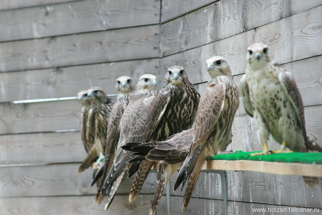 Сокол - Балобан  2012г./Saker falcons for sale