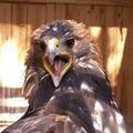 Самка орла-беркута