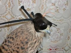 Индо-европейский клобук для мелких хищных птиц