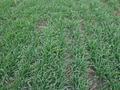 Ризоплан востребован у сельхозпроизводителей