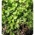 Сигнализационное сообщение № 1 по Саратовской области  на 22.04.2016 г. по обработке гербицидами озимых культур.