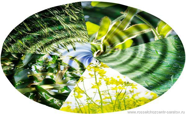 ИНФОРМАЦИЯ по защите растений на 23.06.2016