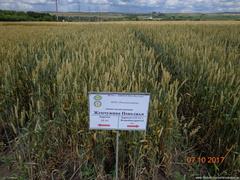 семинар на тему : «Сортовая стратегия Саратовской области по озимым культурам-основа стабильного производства зерна».