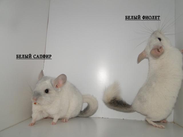 Белый сапфир и белый фиолет, сравнение