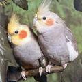 Внешний вид Корелла принадлежит семейству какаду. Оперение у самок и самцов различен.