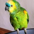 Средой обитания попугаев амазонов является Центральная и Южная Америка, а так же острова
