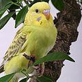 Волнистые попугаи - относительно тихие домашние животные.