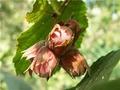 Масло лесного ореха в лечении тромбофлебита.