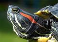 Красноухая черепаха (лат. Trachemys scripta)