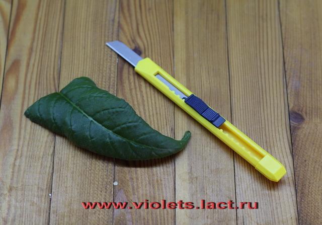 Размножение стрептокарпуса из фрагмента листового черенка