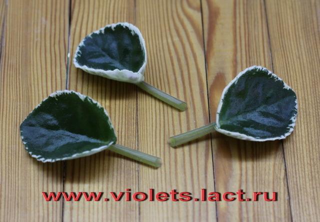 Размножение фиалки из листового черенка