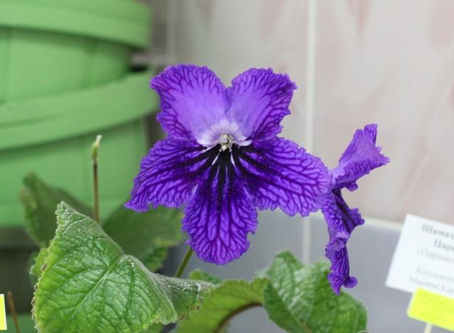 Небесный Император (селекция Парамоновых) - размер цветка с кулак!