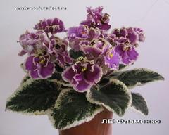 Фиалки Лебецкой (ЛЕ-)
