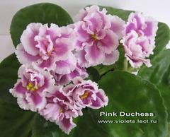Pink Duchess
