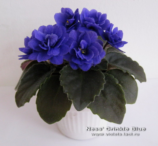 ness' crinkle blue фиалка фото