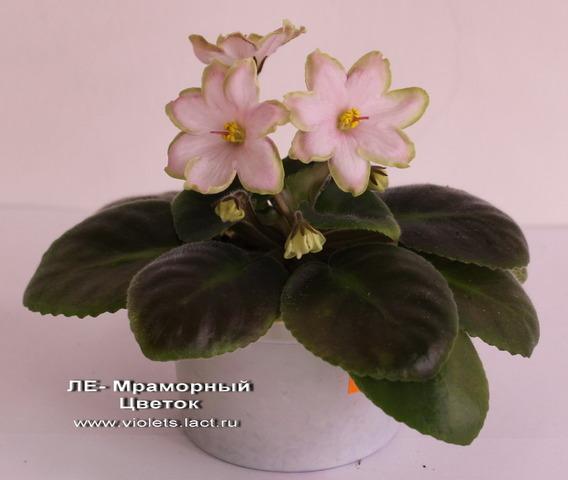 Мраморный цветок фиалка фото