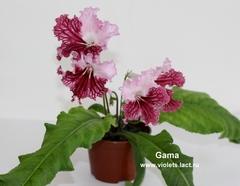 Gama (6083)