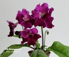 DS-Маргарита
