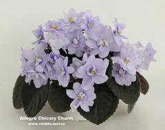 Allegro Chicory Charm