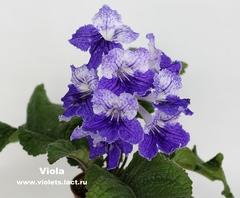 Viola (7004)