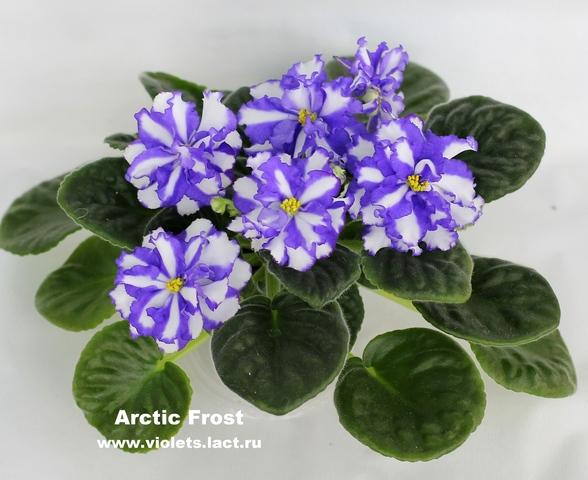 фиалка фото arctic frost