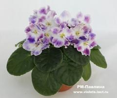 РМ-Павлина