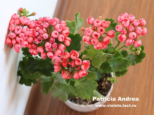 пеларгония patricia andrea