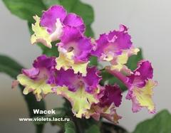 Wacek (7056)