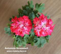 Antonnia Scammell