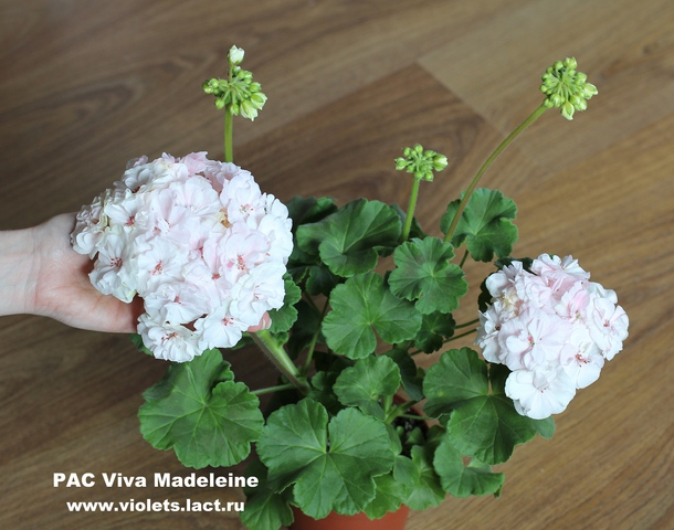 пеларгония pac viva madeleine фото