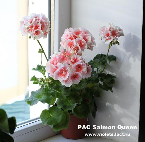 фото пеларгония pac salmon komtess