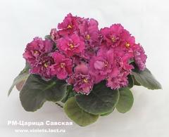 РМ-Царица Савская