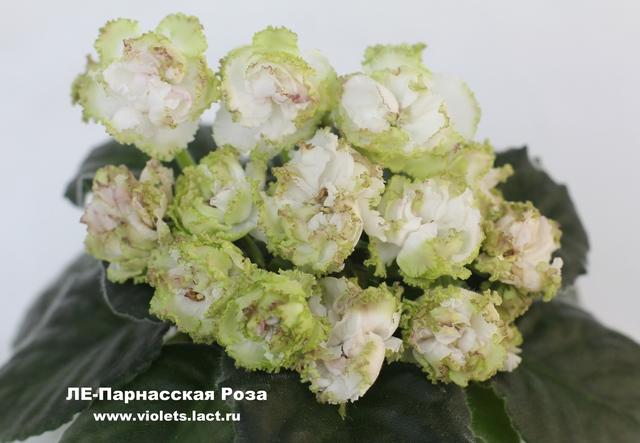 фиалка ле-парнасская роза фото
