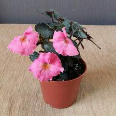 Arletta Pink